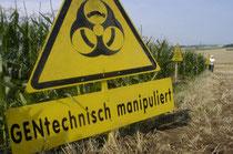 Anbauflächen mit gentechnisch veränderten Pflanzen sind keine Seltenheit mehr. Umweltschutzorganisationen warnen. Foto: Greenpeace