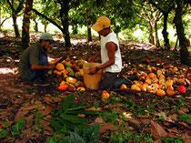 Ernte in der Kooperative Waslala in Nicaragua. Die biologisch angebauten Kakaofrüchte werden noch mit der Machete verarbeite. Hier ist Fair-Trade ein Standard. Foto: Zotter