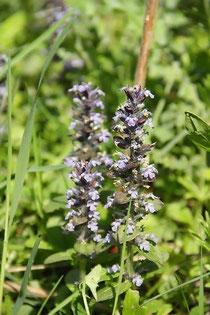 Der Günsel - Heimische Wildpflanze Anwendungsgebiete