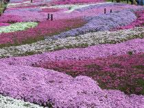 昭和記念公園の芝桜とチューリップ