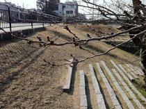 3月6日撮影の桜