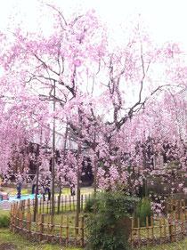 4月8日満開のしだれ桜(岡崎市満性寺)