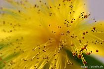 Gelbe Blüte mit Pollen
