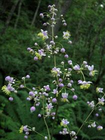 シキンカラマツ 紫錦落葉松 キンポウゲ科 カラマツソウ属