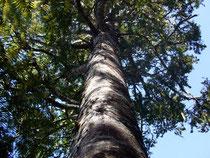 カウリの巨樹