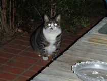 外猫のとらちゃん