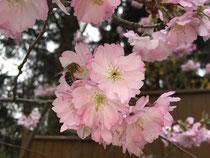 Blüten der Zierpflaume mit einer Biene die Nektar sammelt