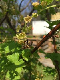 Johannisbeerblüte mit Biene