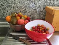 frisch geerntete Tomaten aus dem Garten