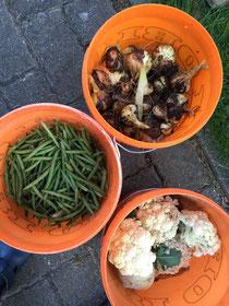 drei Eimer mit frisch geerntetem Gemüse, einmal Bohnen, Zwiebeln und Blumenkohl