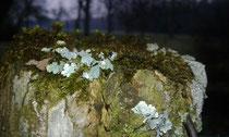 Blasenflechten und Moos teilen sich das alte Holz