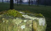 Die flache Landkartenflechte erzeugt helle Tupfen am alten Holz