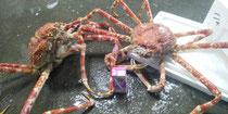 世界一大きい蟹 高足カニ入荷