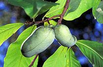 アケビにそっくりなポーポーの果実