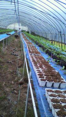 なかはた農園 イチゴ 来年苗