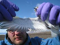Sanderling Flügel Untersuchung