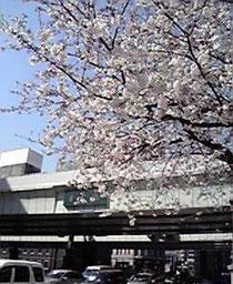 日本橋にも桜