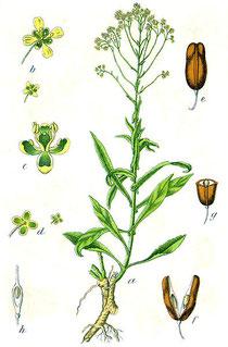 Pastel des teintutiers (Source : Wikipedia)