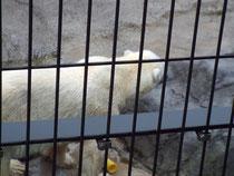 目の前の白クマ