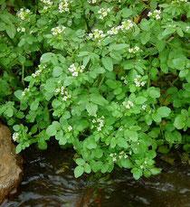 Rorippa nasturtium aquatica (berro de agua)