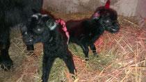 Ziegenbabies Baako und Bikita haben das Licht der Welt erblickt