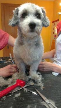 Miró beim Hundefriseur
