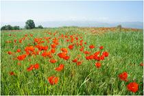 ■シルクロード遺跡ブラナの塔の周りの草原と遥か天山山脈
