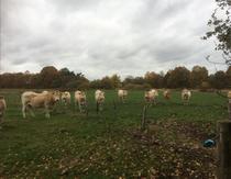 De koeien