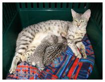 первые котята от саванны F2 Diamond и кота - саванны F5 - Ambiente - саванны F3C - Ambiente White Iris и Ambiente Snow Flake - две кошечки саванны