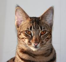 #кошка саванна F2B alt