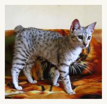 саванна F2 - кошка Diamond, 5 месяцев, первый день в Москве