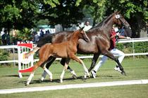 Fohlenchampionat Neustadt-Dosse-Sieger Dressur Hengstfohlen von quaterback - De Niro - Foto: Schroeder