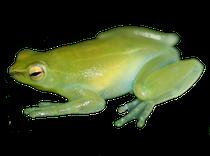 Sphaenorhynchus lacteus-Puerto López Meta