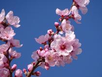 Mandelblüte Pfalz