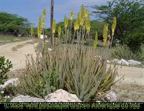 Aloe Vera au milieu d'une route