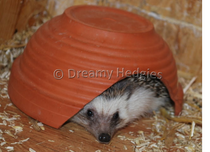 (Foto: Dreamy Hedgies)