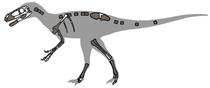 Skelett eines Eotyrannus