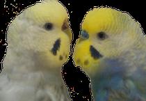 Izquierda, hembra arcoiris malva cara amarilla Tipo I. Derecha, macho arcoiris cielo-violeta cara dorada doble factor.