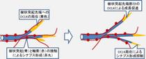 画像3。DCLKタンパク質は樹状突起の先端に濃縮し、この部分で突起が伸びることを助けることを示している。一方でDCLKがあることでこの部分は軸索とシナプスを形成することから逃れ、動的な状態を維持することができる