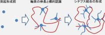 画像1。神経ネットワーク形成の3段階。神経ネットワーク形成は軸索と樹状突起という2種類の突起が伸長し、シナプスを介したネットワークを形成することにより進行する