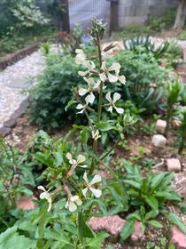 ルッコラのお花♪なんかオシャレ‼︎今日引っこ抜いちゃいました(^^)