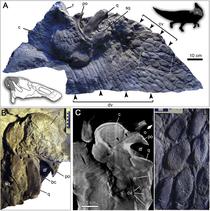 軟組織が保存される Edmontosaurus regalis 記号Cが鶏冠構造