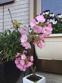 佐倉市のかぶらぎ整骨院 院前の桜