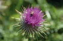 Mariendisteln gelten als Heilmittel zur Stärkung der Leber. Sie sollen nun auch im Burgenland verstärkt angebaut werden. Foto:leiana/Fotolia.com