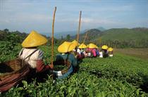 Mühsame Ernte der reifen Teeblätter: Auf den meisten Teeplantagen zählt noch Handarbeit, Erntemaschinen sind kaum im Einsatz. Foto:www.photoXpress.com/Bayu Harsa