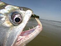 Payada Fisch im Rio Orinoco - Kolumbien