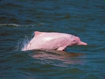 Flussdelfine auf dem Rio Orinoco - Kolumbien