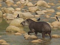 Amazonas Tapir - Kolumbien