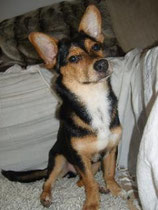 Dackel-Jack Russell Terrier-Mix MAX seit 01.09.2011 in 10407 Berlin- Prenzlauerberg / Storkowerstrasse entlaufen.