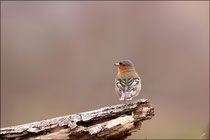 Pinson des arbres mâle ( Fringilla coelebs ) © JLS